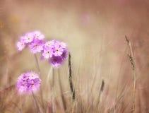 Bird's-eye primrose, romantic background, texture. Royalty Free Stock Photo