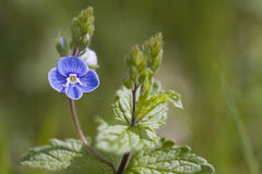 Bird's-eye Speedwell Lizenzfreies Stockbild
