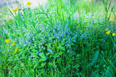Bird's-eye speedwell, Veronica chamaedrys Royalty Free Stock Photo