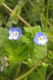 Bird`s Eye Speedwell. Veronica Persica is a member of the Figwort family. They prefer partial to full sun, moist conditions and a rich, loamy soil. They are a Stock Photography