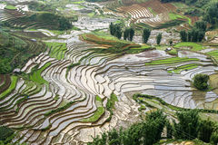 Bird's-eye view of the rice terraces in rainy season sapa Distri Royalty Free Stock Photo