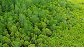 Bird's eye view of a vast expanse of vivid green Spurred Mangrove tree forest of Rayong province stock footage