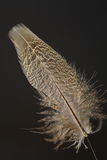Bird's feather of Green Pheasant Royalty Free Stock Photo
