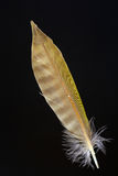 Bird's feather of Japanese Green Woodpecker Stock Image
