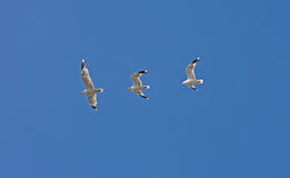 Bird's flight captured in three shots - albatross Stock Photos
