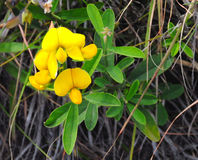Bird's Foot Trefoil Stock Photo