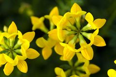 Bird's foot Trefoil Royalty Free Stock Photography