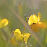 Bird's-foot Trefoil. Small fly on a yellow Bird's-foot Trefoil Royalty Free Stock Photography