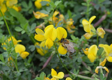Bird`s-foot Trefoil Lotus corniculatus, Flowers and Bee Royalty Free Stock Photo