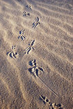 Bird's footprints Stock Photography