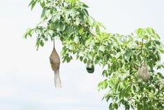 Bird& x27; s gniazdeczko obrazy stock