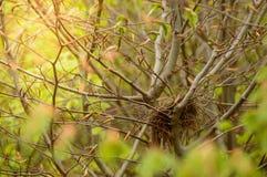 Bird&-x27; s gniazdeczko budujący w gałąź drzewa fotografia royalty free