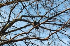 Bird& x27; s gniazdeczko na nagim drzewie Obraz Royalty Free