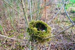 Bird& x27; s gniazdeczko na sośnie rozgałęzia się w lesie Obraz Stock