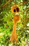 Bird& x27; s gniazduje, krótki gniazdeczko należy męski ptak, długi gniazdeczko należy żeńscy ptaki zdjęcia royalty free