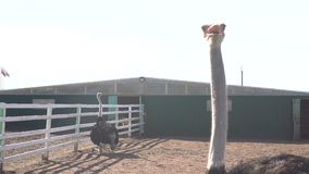 Bird`s head ostrich exotic animals at the zoo.  stock footage