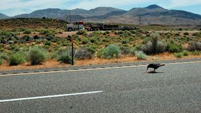 A raven picking up some road kill somewhere along highway 395 in the Mojave Desert in California as a truck passes by. A bird`s loving the bloody road kill of a Stock Image