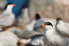 The bird's market. /Colony of birdst.Island jn Ladoga lake. Russia Stock Photography