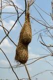 The bird`s nest, abandoned on the old krachap twigs. Bird`s weaverbird stock photos