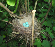 Bird's nest with blue eggs. In the forest Stock Photos