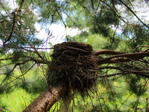 Bird`s nest in the branches of fir Stock Photography