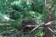 Bird`s nest in the branches of fir Royalty Free Stock Photos