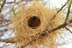 Bird's Nest - Buffalo Weaver - Africa Royalty Free Stock Photos