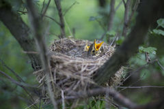 Bird's nest with chicks in a tree. Song thrush chicks sitting in a nest on a tree Stock Images
