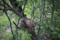 Bird's nest with chicks in a tree. Song thrush chicks sitting in a nest on a tree Royalty Free Stock Photos