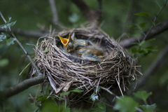Bird's nest with chicks in a tree. Song thrush chicks sitting in a nest on a tree Stock Photography