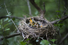 Bird's nest with chicks in a tree. Song thrush chicks sitting in a nest on a tree Royalty Free Stock Images