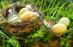 Bird's nest with eggs Royalty Free Stock Photography