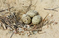 Bird's nest with eggs on sand Stock Photos