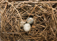 Bird's nest with eggs Stock Images