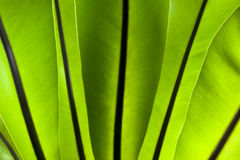 Bird's nest fern Royalty Free Stock Images