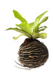 Bird's nest fern Stock Images