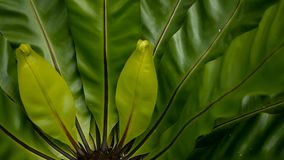 Bird`s Nest fern, Asplenium nidus. Wild Paradise rainforest jungle plant as natural floral background. Abstract texture. Close up of fresh exotic tropical green stock footage