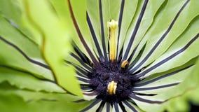 Bird's nest fern. Beautiful circle Bird`s nest fern leave close up. royalty free stock photo