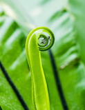 Bird's nest fern green leaf roll Stock Images