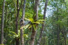 Bird's nest fern Stock Photo