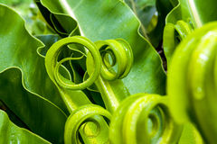 Bird's nest fern leaf Stock Photo