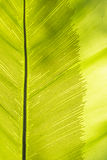Bird's nest fern leaf Stock Photos