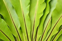 Bird's nest fern. Leaves closeup Stock Photos