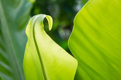 Bird's nest fern Royalty Free Stock Photography