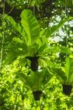 Bird`s nest fern hanging under the tree. stock photos