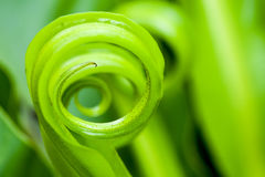 Bird's nest fern Stock Image