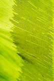 Birds Nest Fern Royalty Free Stock Images