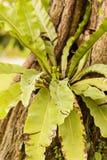Bird's nest fern Stock Images