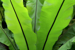 Bird's Nest Fern Unfurled. Closeup photo of Birds Nest Fern backlit with its broad leaves filling most of the frame stock image