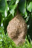 Bird's nest hanging on a mango tree Royalty Free Stock Photography